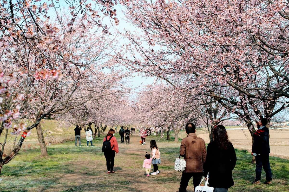 Mid March Sakura | SAKADO