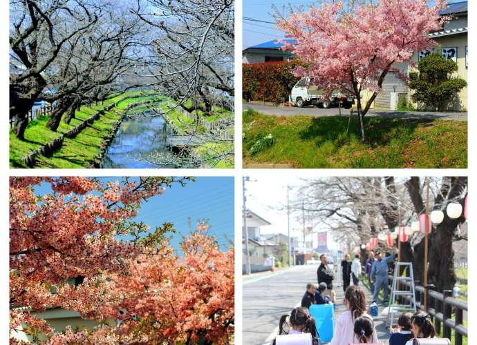 Shingashi River collage March 21st 2019 today in Saitama Cherry blossom update