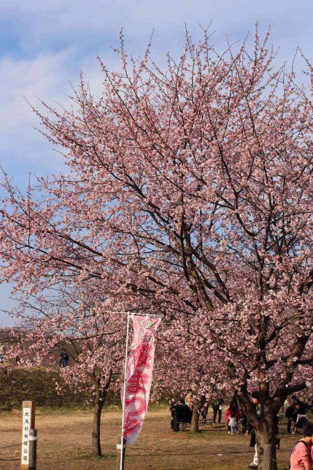 Nissai Sakado Sakura festival early blooming sakura cherry blossoms