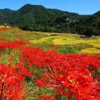 No Cluster Amaryllis Terasaka Terraced Rice Fields in 2020