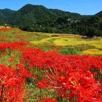 Cluster Amaryllis Terasaka Terraced Rice Fields in 2021