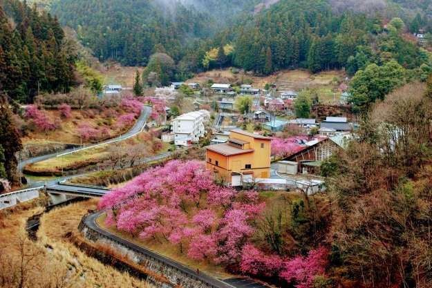 Peach Blossoms Yoshida | CHICHIBU