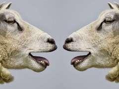 SHeep shearing Tobu