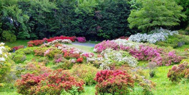 Shades of Azalea Ogose at Godaison Tsutsuji Park