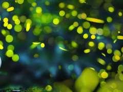 firefly festival kumagaya fireflies saitama