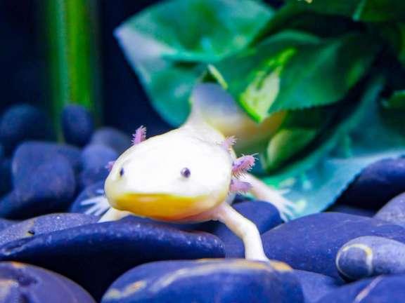 A wooper looper axolotl at Saitama Aquarium