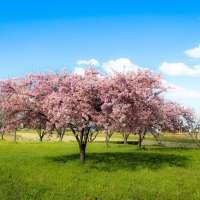Cherry blossom viewing in Saitama in 2020