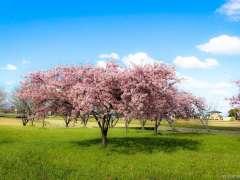 Cherry blossom viewing Saitama 2020