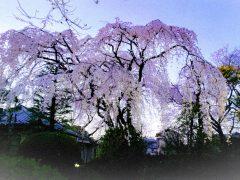 Weeping cherry blossom Nakain Kawagoe