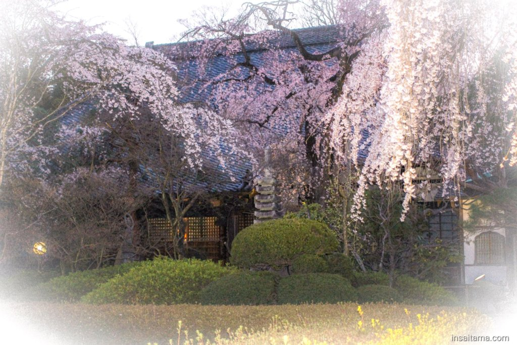 Cherry Blossoms at Nakain by night March 24th 2019