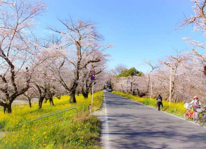 Jougaya Embankment Cherry Blossom Bank Kitamoto