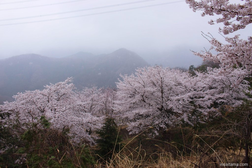 Fog and cherry blossoms insaitama.com