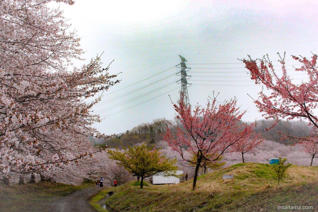 Senbonzakura Mt Torayama Higashichichibu insaitama.com