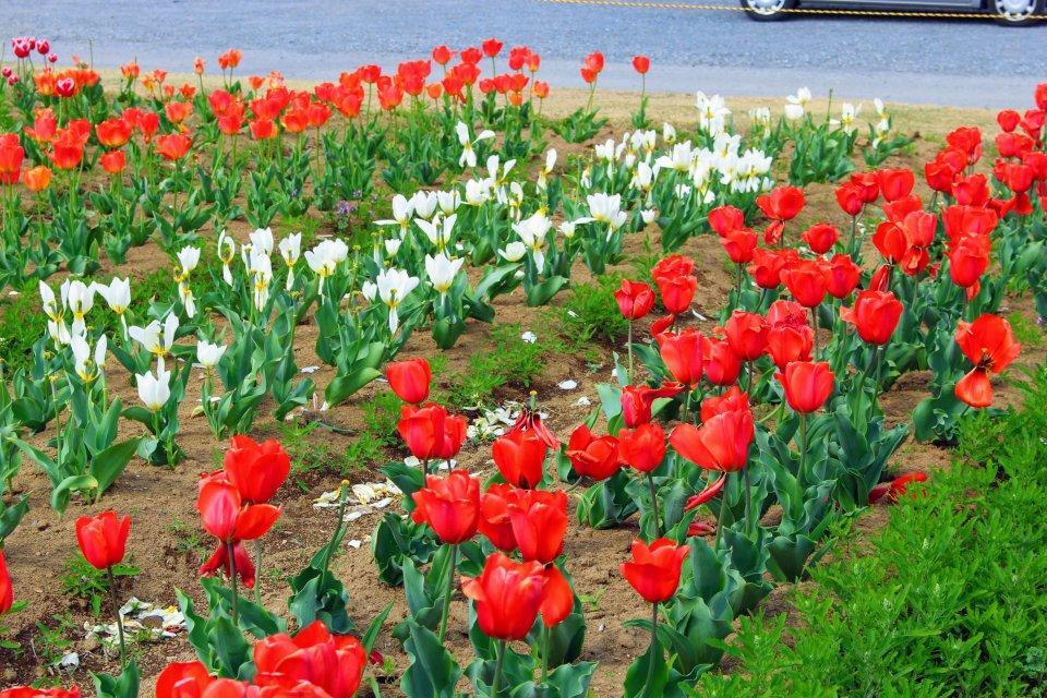 Tulips at Hana no Oasis Konosu