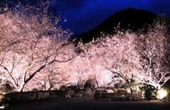 winter cherry blossom festival and light up