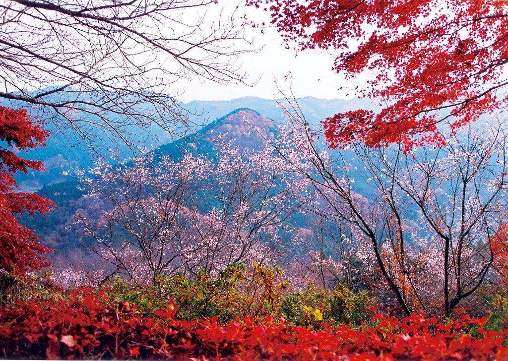 winter cherry blossom and autumn leaves