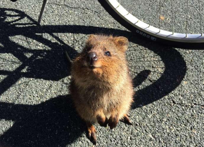 zoo reopening and Quokka