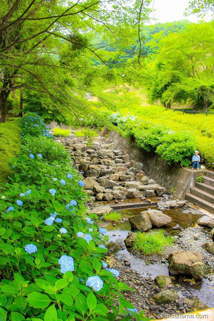 Hydrangea and river at Suzumegawa Sabo Dam Park Tokigawa Saitama Prefecture