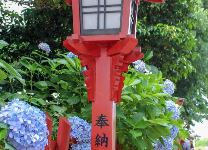 Hydrangea at Kawagoe Hachimangu