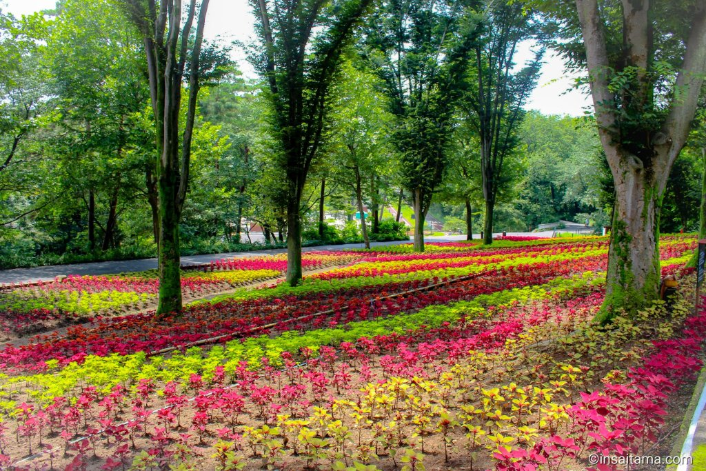 coleus flowers at shinrin park summer 2020 and september scenery Saitama