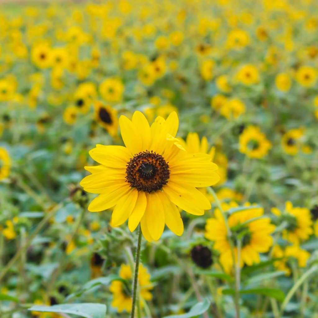 sunflowers summer flowers at shinrin park