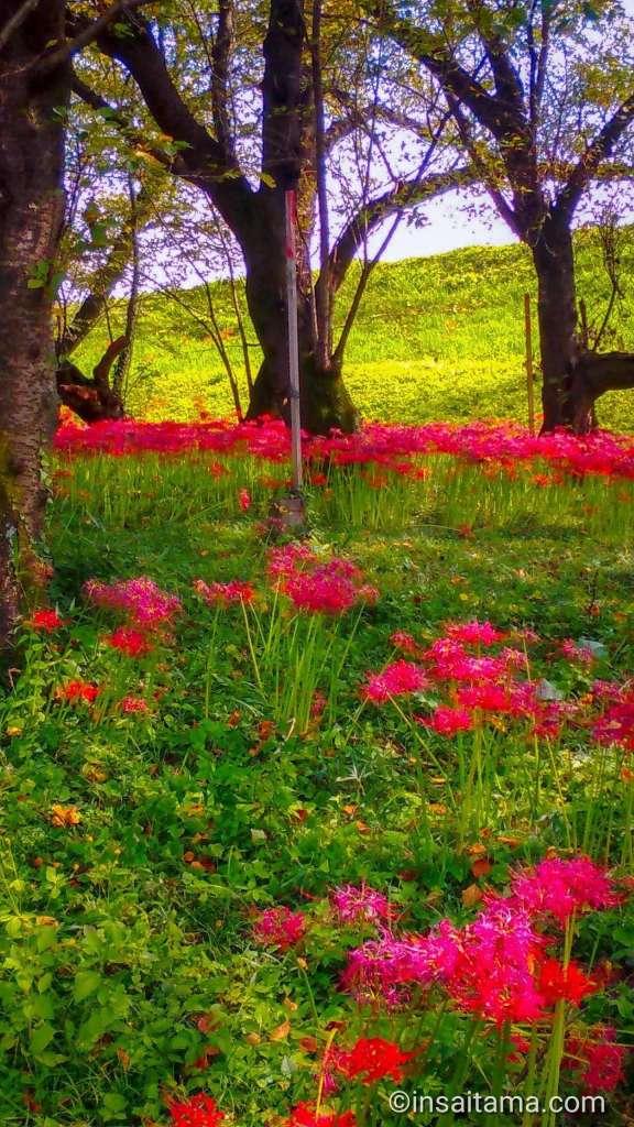 lycoris radiata kawajima
