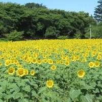 Seasonal blooms at Gongendo Park in Satte, Saitama