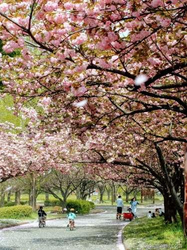 Cherry blossoms at Kawagoe Suijo Koen