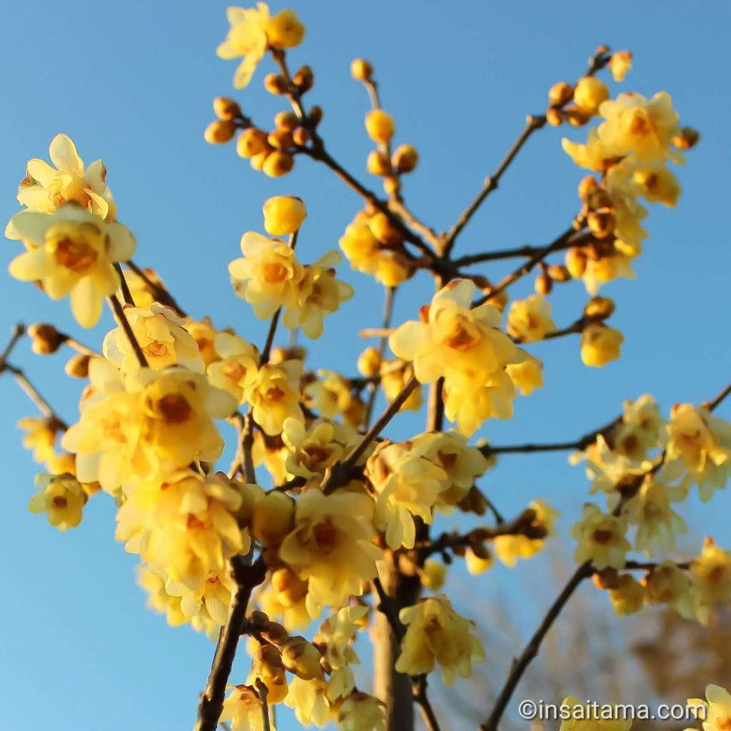 wintersweet at botanen