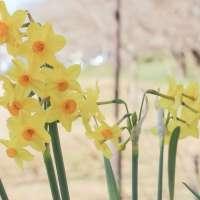 Daffodils at Gongendo Park in Satte, Saitama