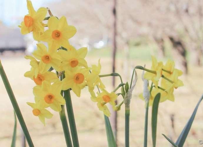 daffodils satte saitama