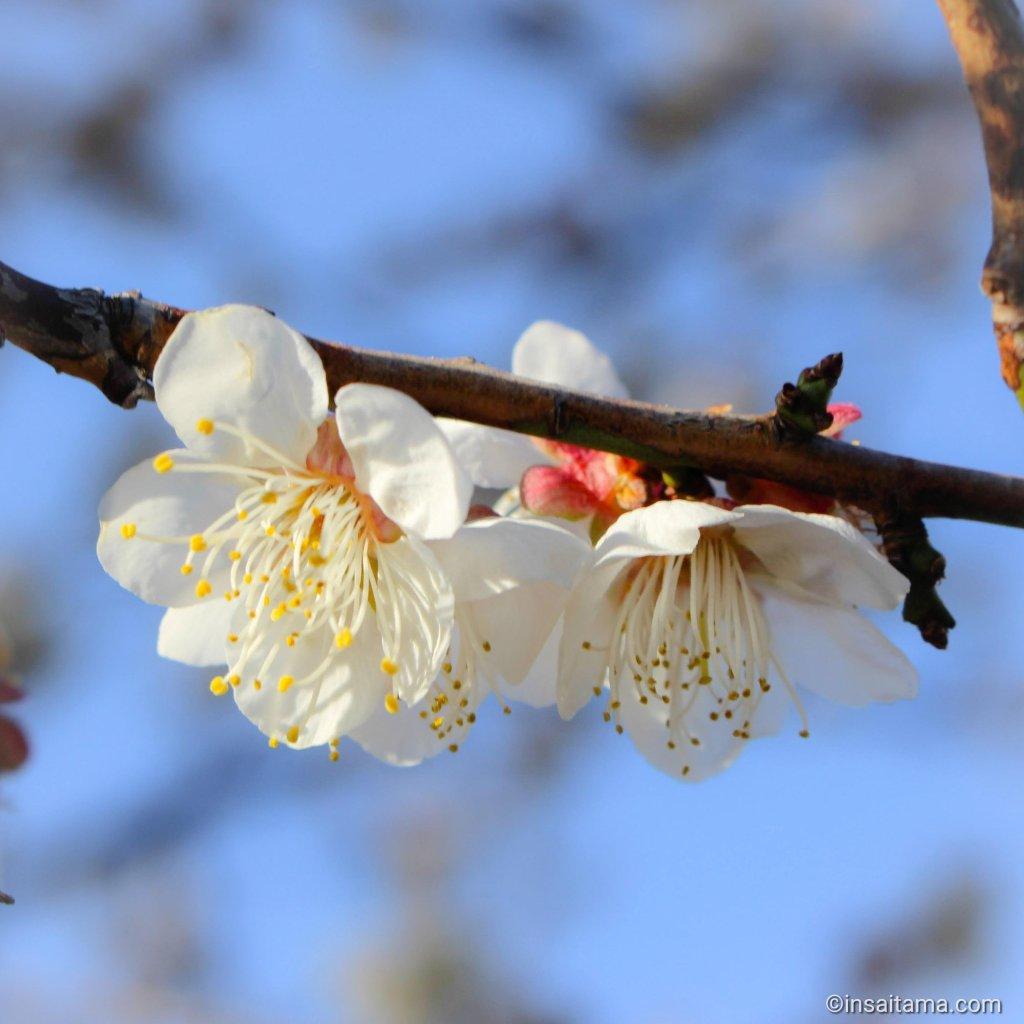Omiya dai ni plum blossom