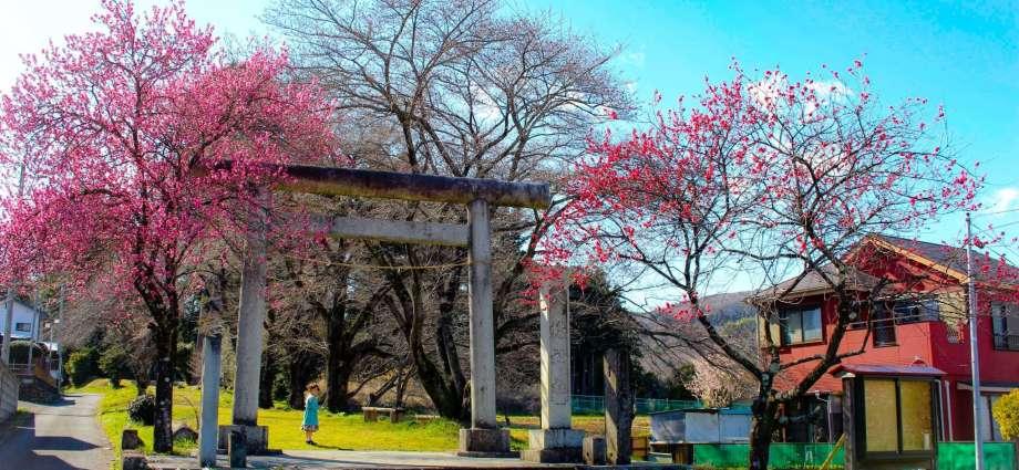 peach blossoms tokigawa