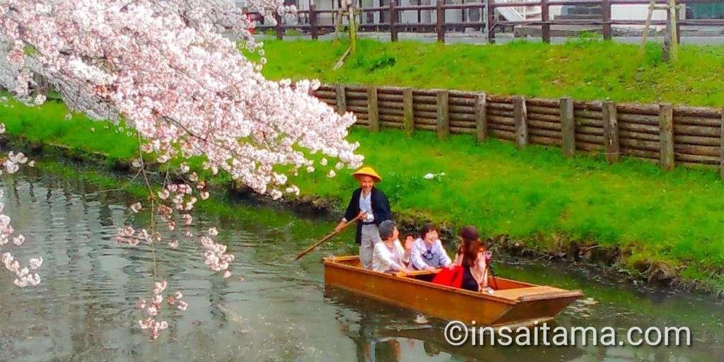 cherry blossoms shingashi river