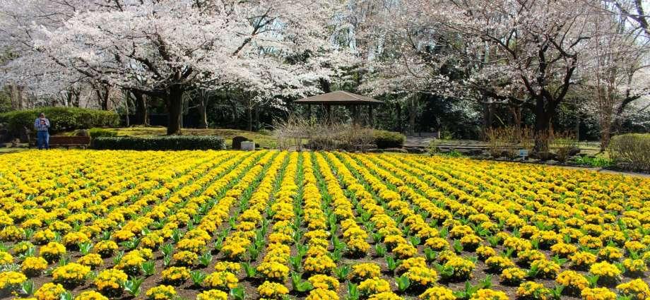 cherry blossoms and yellow flowers Omiya Hana no Oka Saitama City