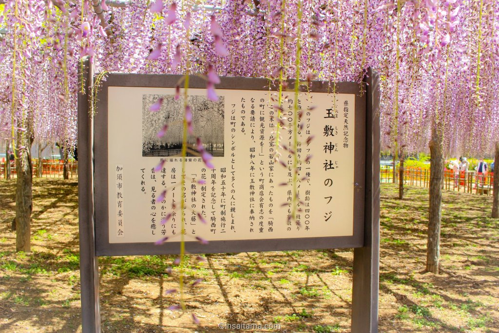 400 year old wisteria tree in Tamashiki Shrine and park
