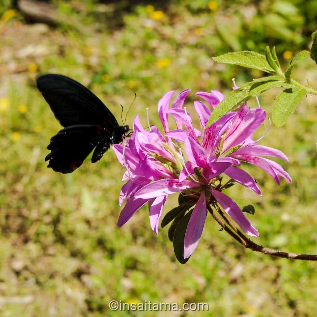 butterfly and azalea at tamashiki shrine