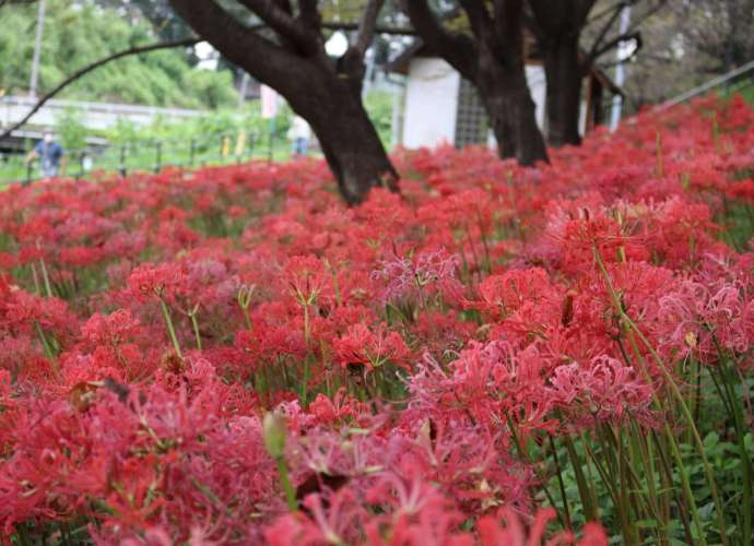 early blooming spider lilies in bloom now August 2021