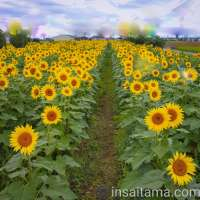 Autumn Sunflowers in bloom right now