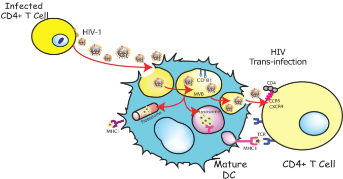 HIV mimicking exosomes in using DC to infect T-cells