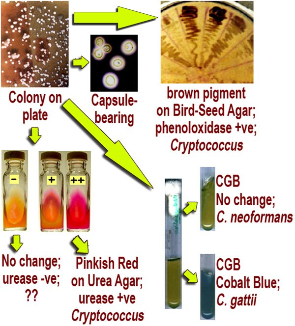 variety test for Cryptococcus