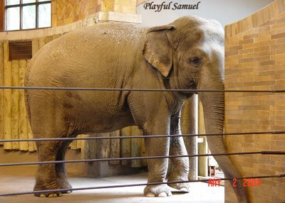 Samuel the Asian elephant in the Bronx Zoo.
