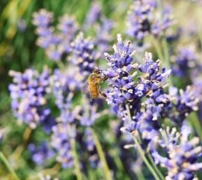 Edited - Honey Bee at Work