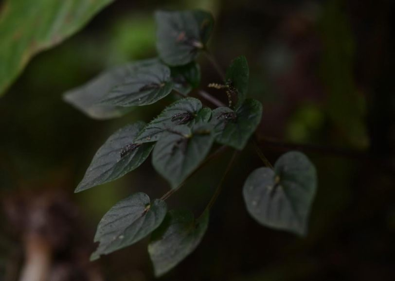 Peperomia pinoi