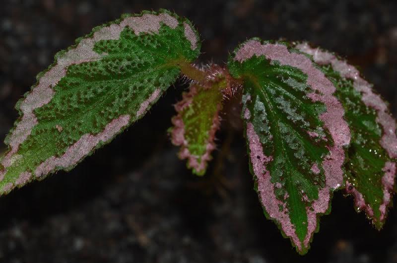 Begonia (sect. Symbegonia) fulvo-villosa