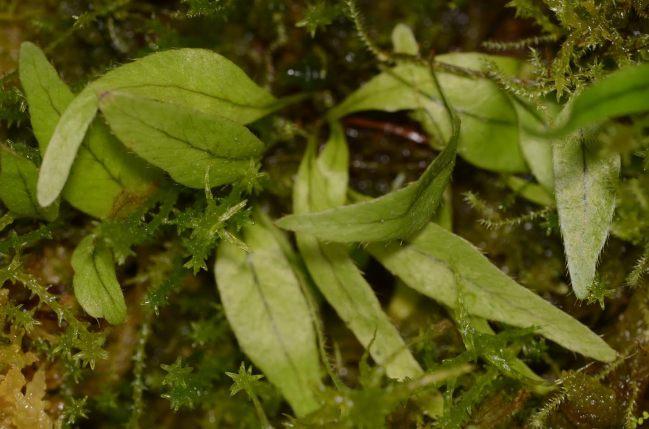 Microgramma sp. Peru