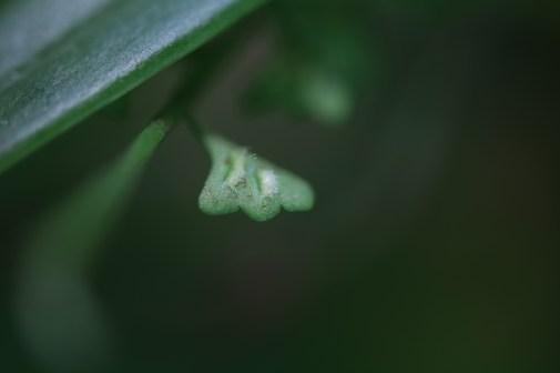 Asplenium stoloniferum