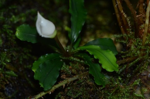Bucephalandra species Sekadau