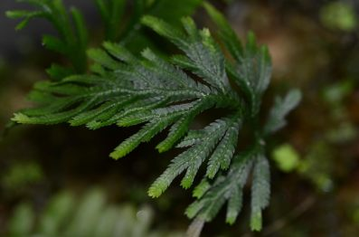 Selaginella species