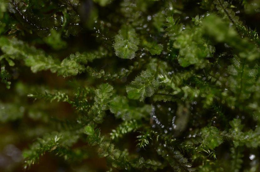 Plagiochila species